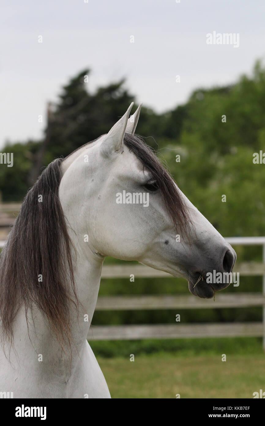 Andalusische Pferd Stockbild