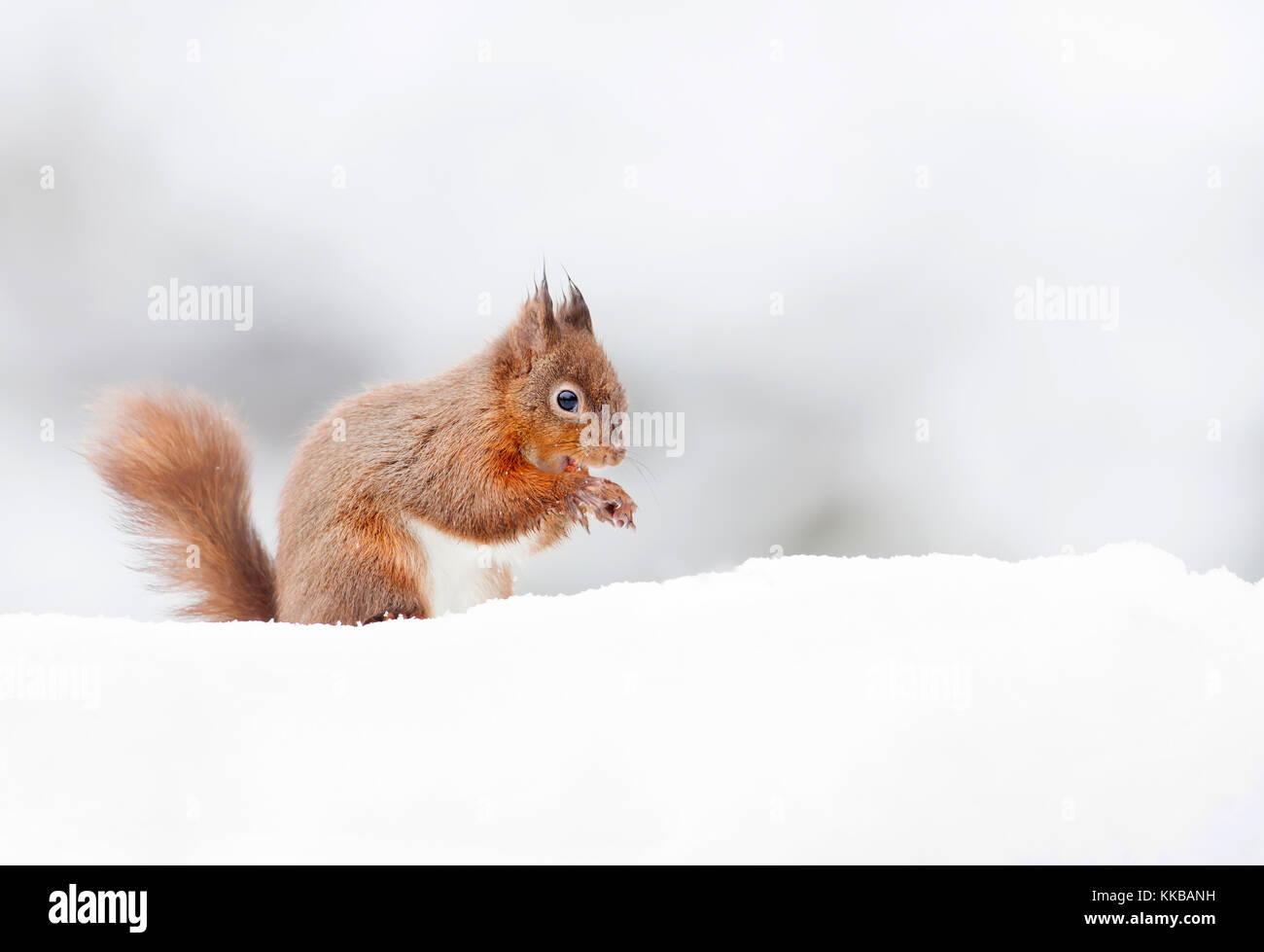 Eichhörnchen sitzend im Schnee im Winter, Großbritannien Stockbild