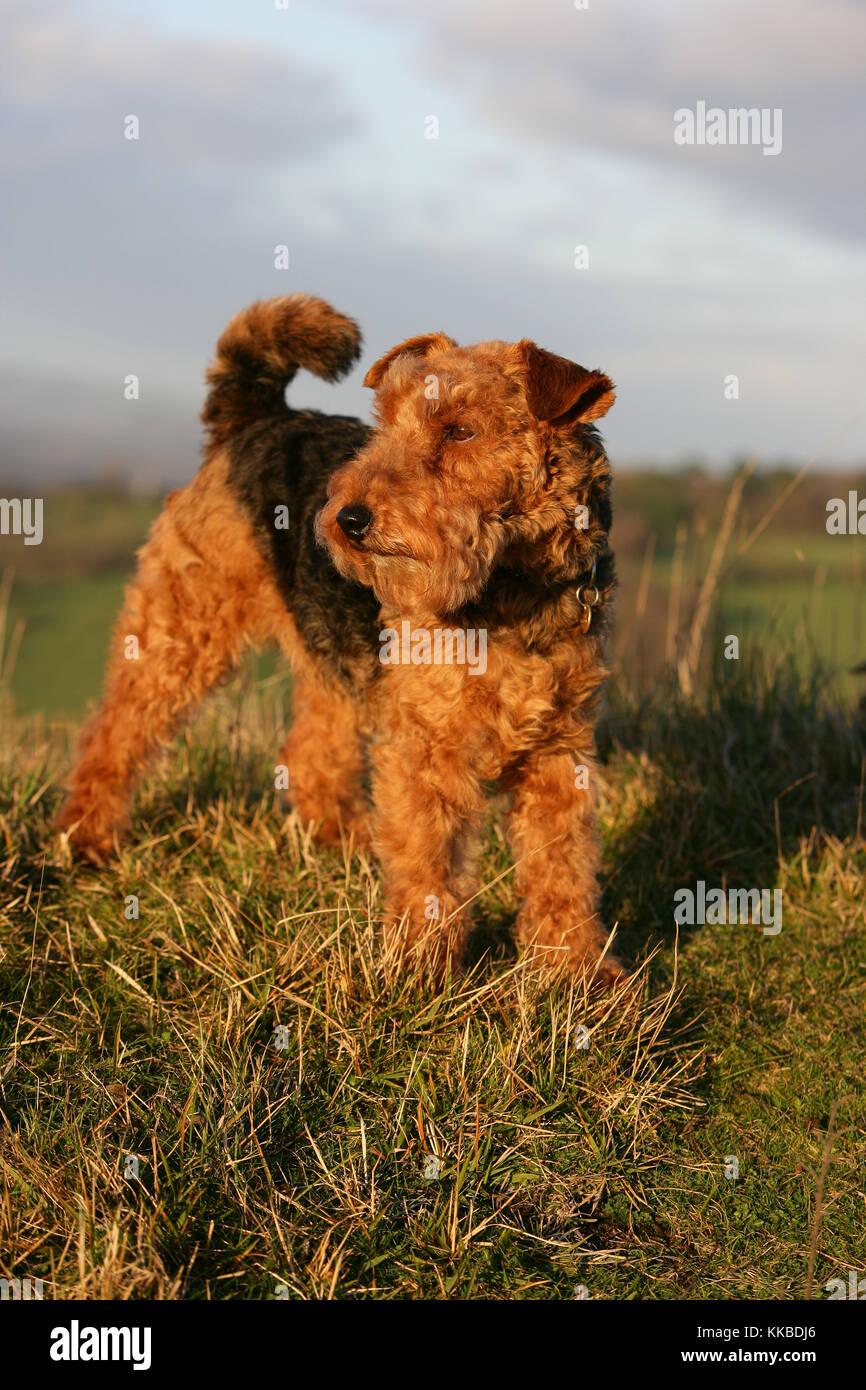 - Welsh Terrier Welsh Terrier stehend Stockfoto