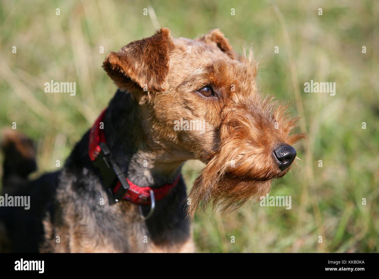 Welsh terrier Stockbild