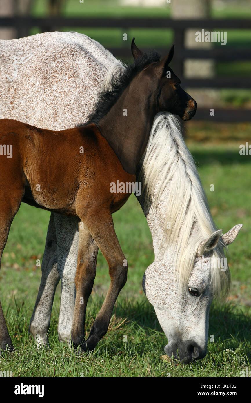 Arabische Stute und Fohlen Stockfoto