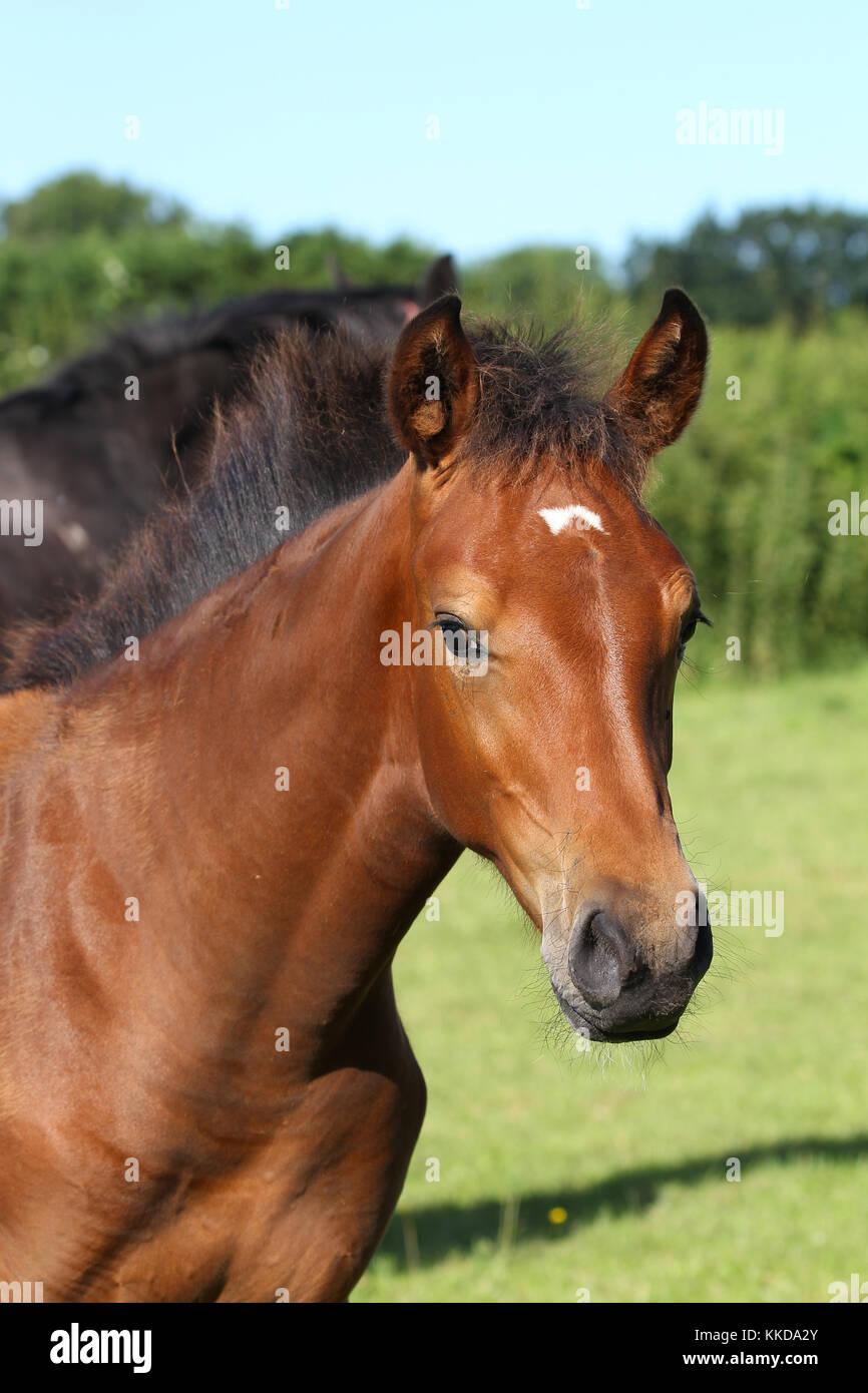 Warmblut Pferd Stockbild