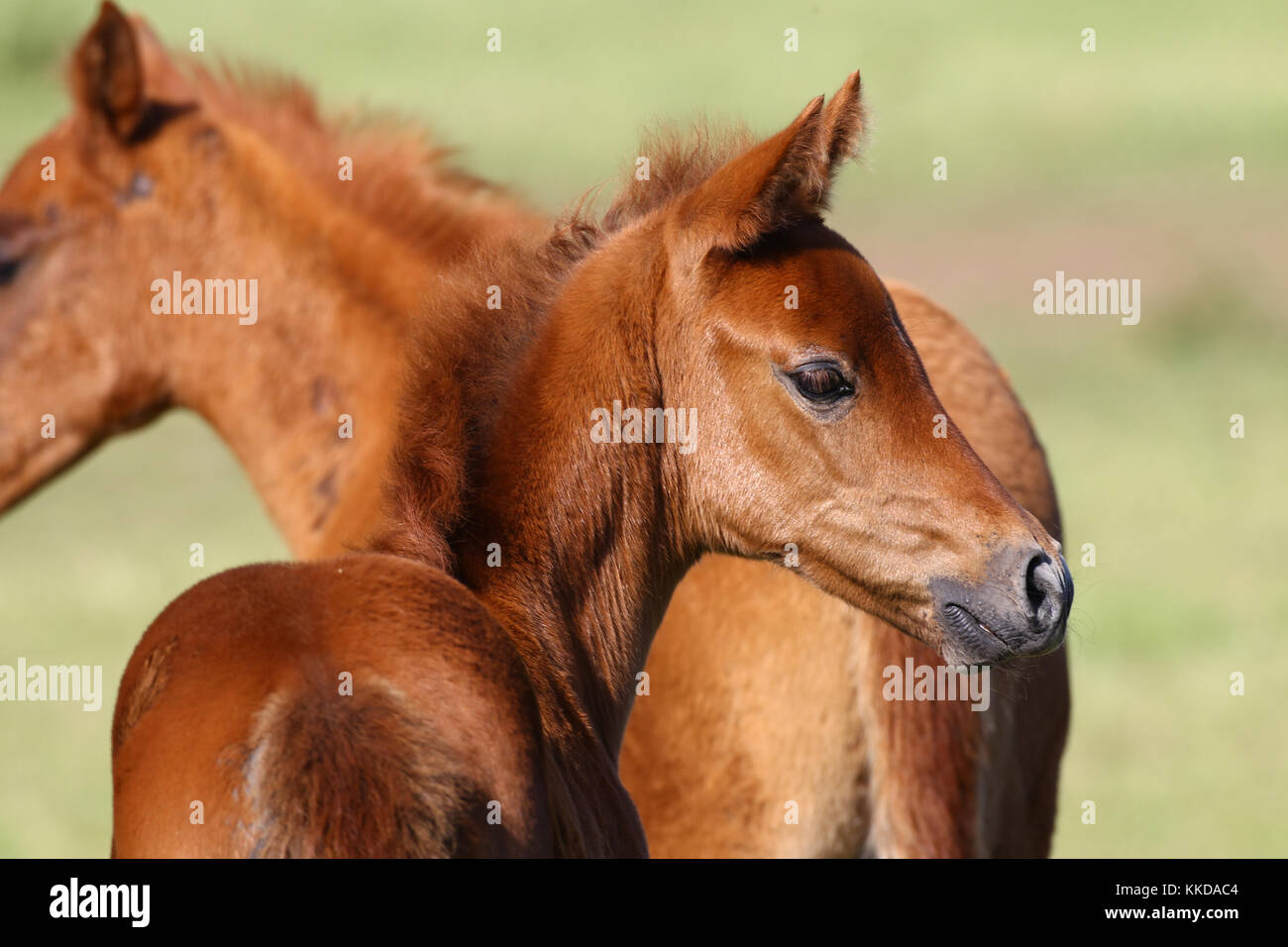 Warmblut Pferd Stockfoto