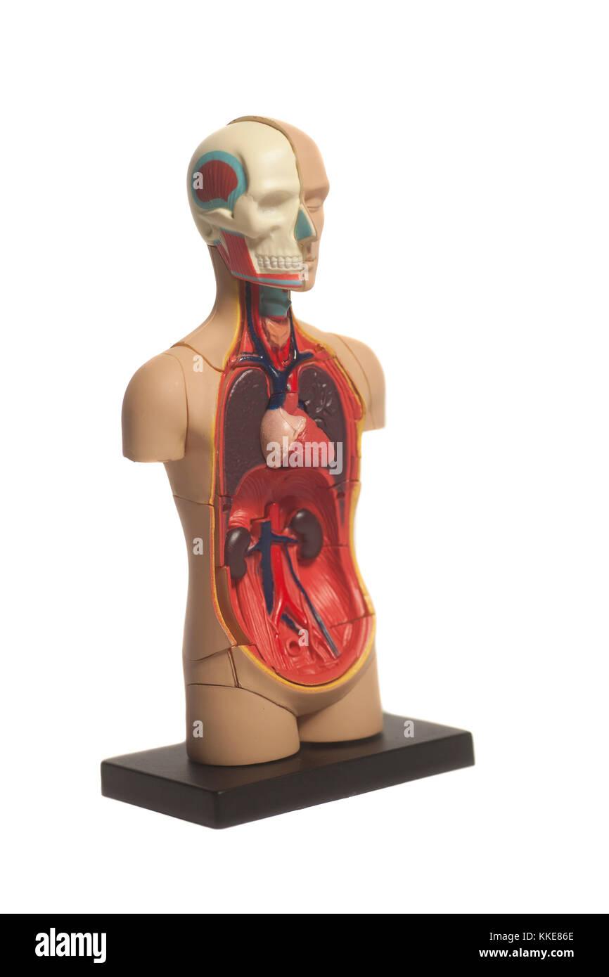 Großartig Halsteile Menschliche Körper Fotos - Anatomie Ideen ...