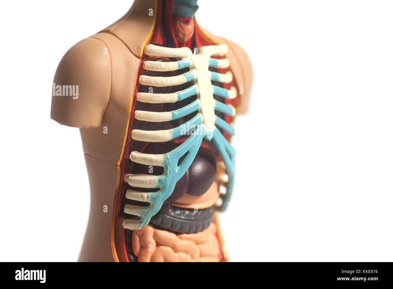 Beste Ganzkörper Anatomie Modell Ideen - Physiologie Von ...