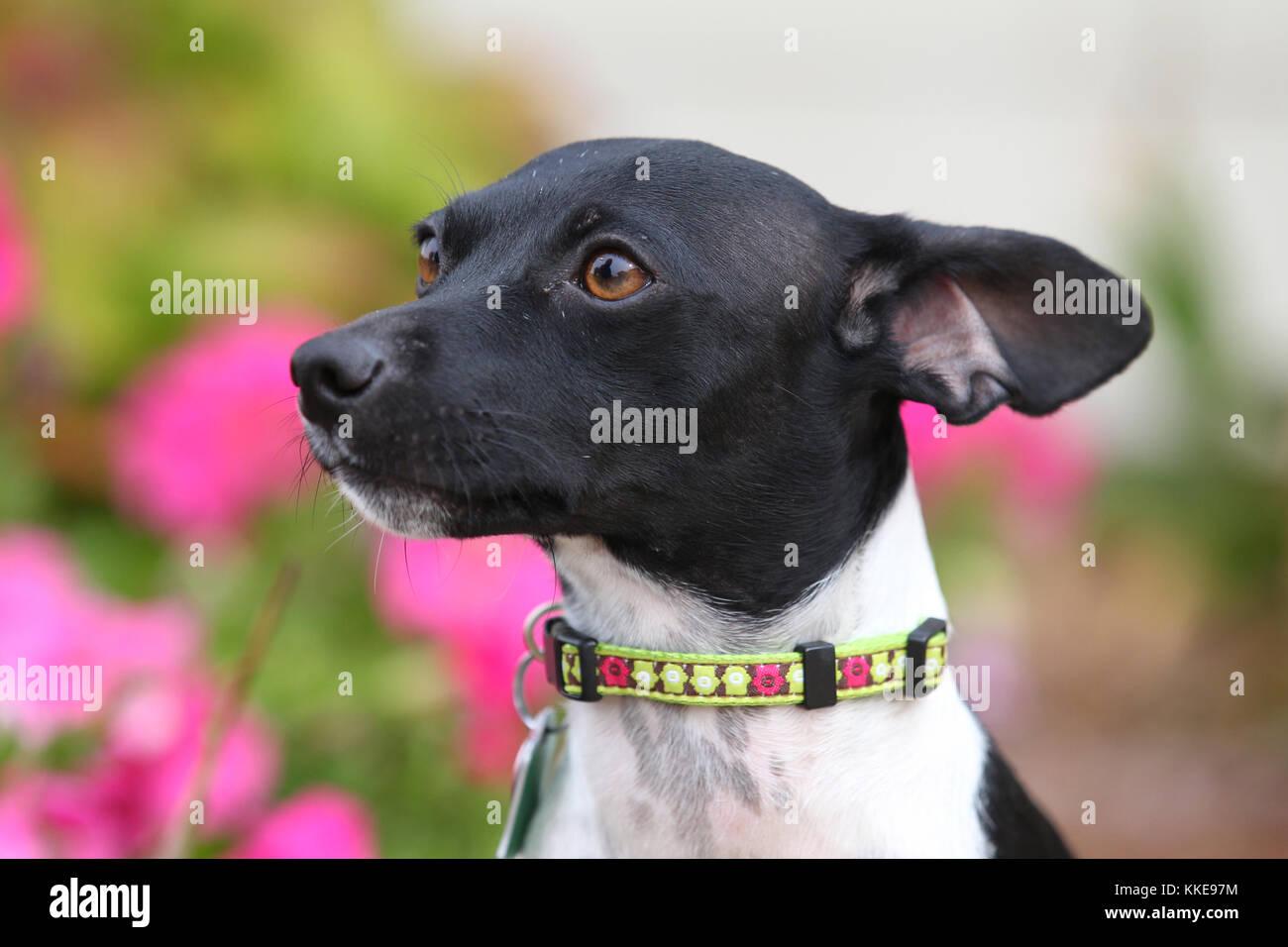 Terrier - Ratte terrier ratonero bodeguero Andaluz Stockbild