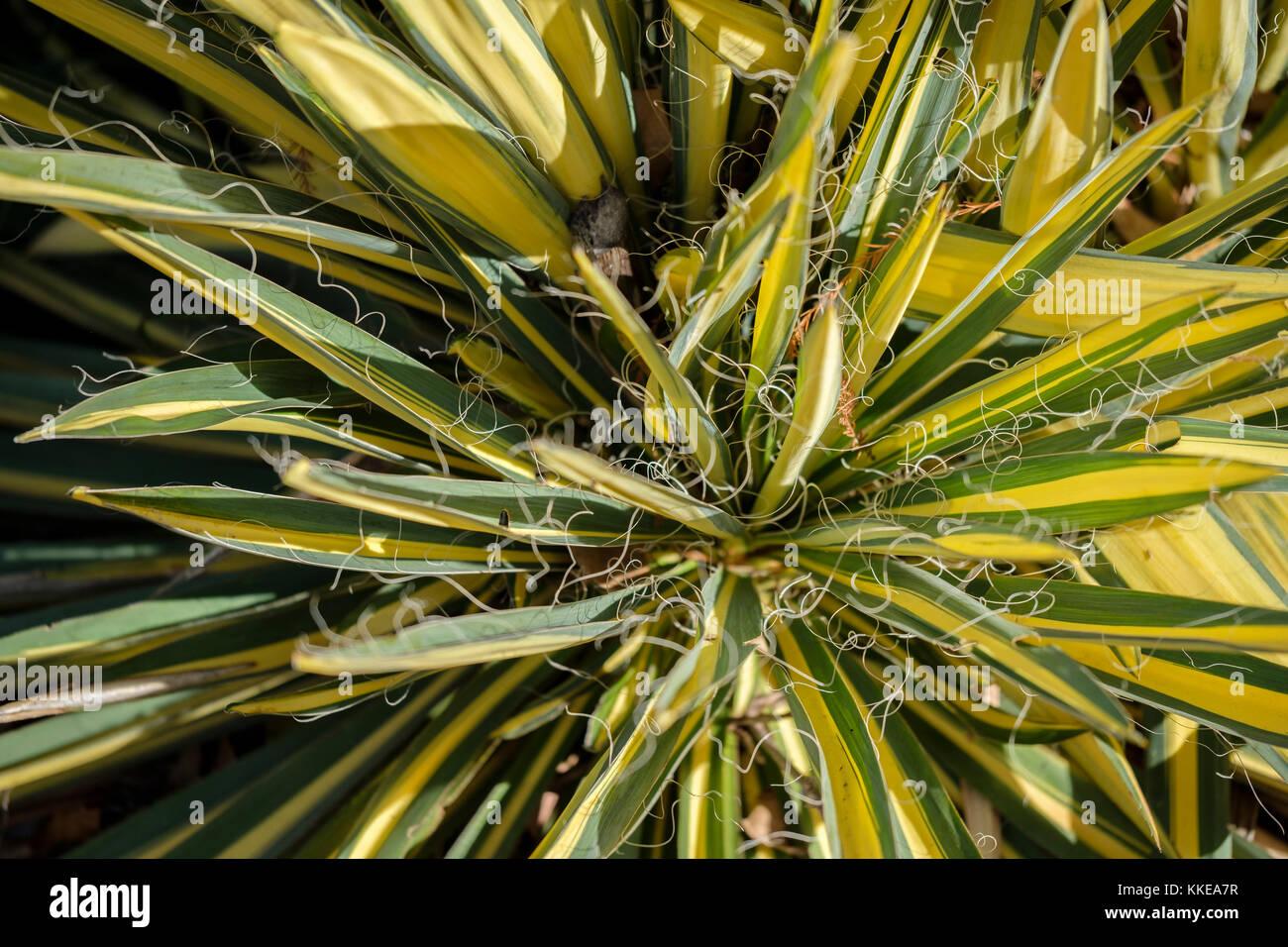 Yucca Color Guard, Yucca filamentosa, in einem botanischen Garten in Oklahoma City, Oklahoma, USA wächst. Stockbild