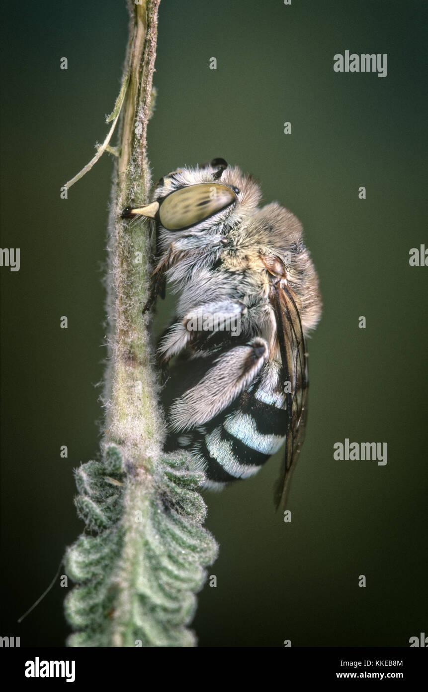 Australischen blue-Gebändert Biene (Amegilla sp.) Schlafen auf lavendel Bush Stockbild