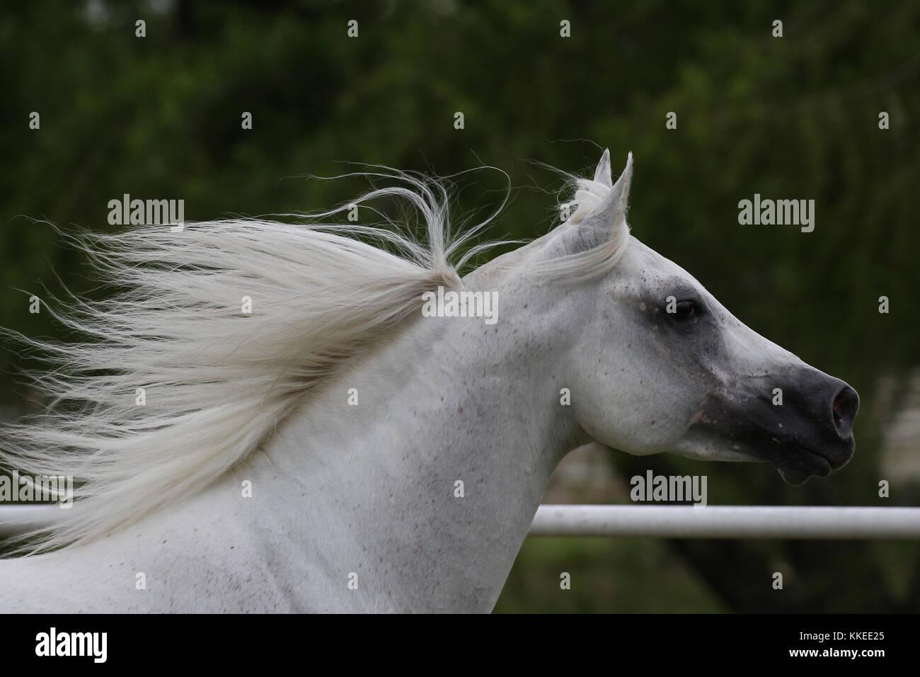 Arabischen Hengst Stockbild
