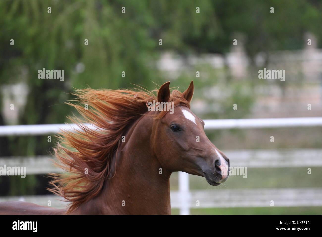 Chestnut arabischen Hengst Stockbild