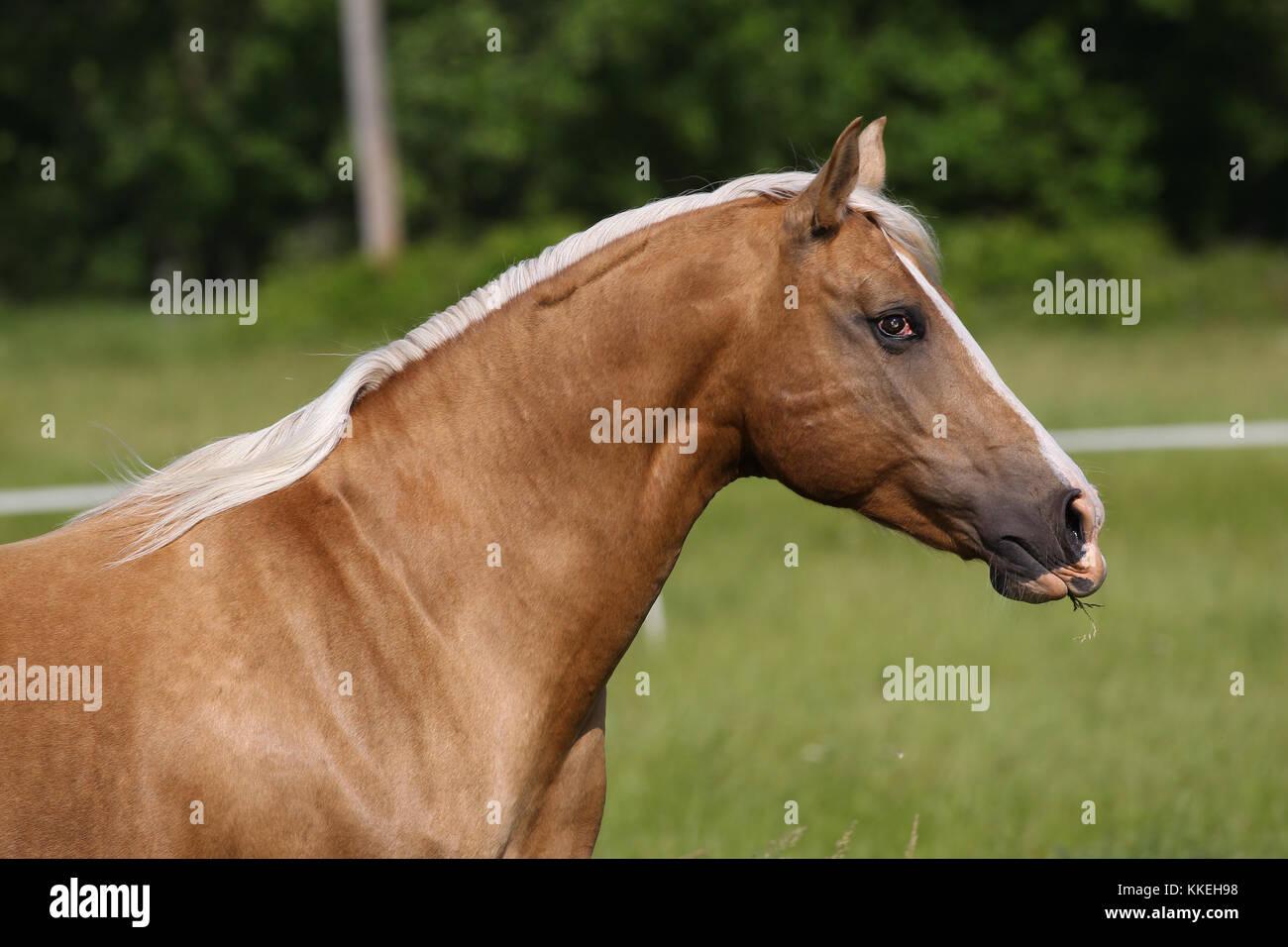 Arabische X Palomino Stockbild