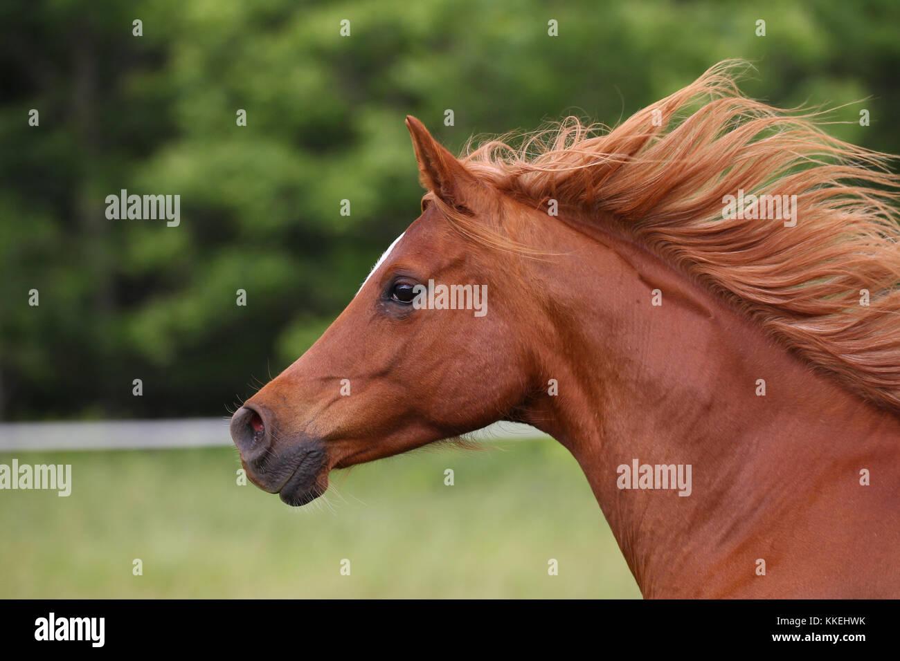 Chestnut arabischen Headshot Stockbild