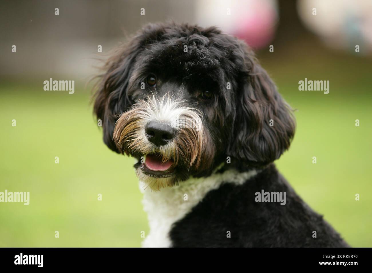 Portugiesischer Wasserhund Cão de Agua keuchend Stockbild