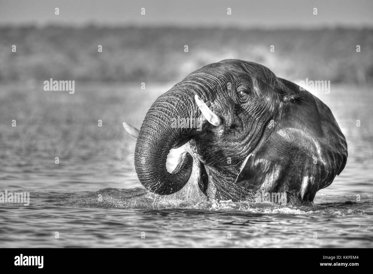 Tierwelt am Chobe River, Botswana Stockbild
