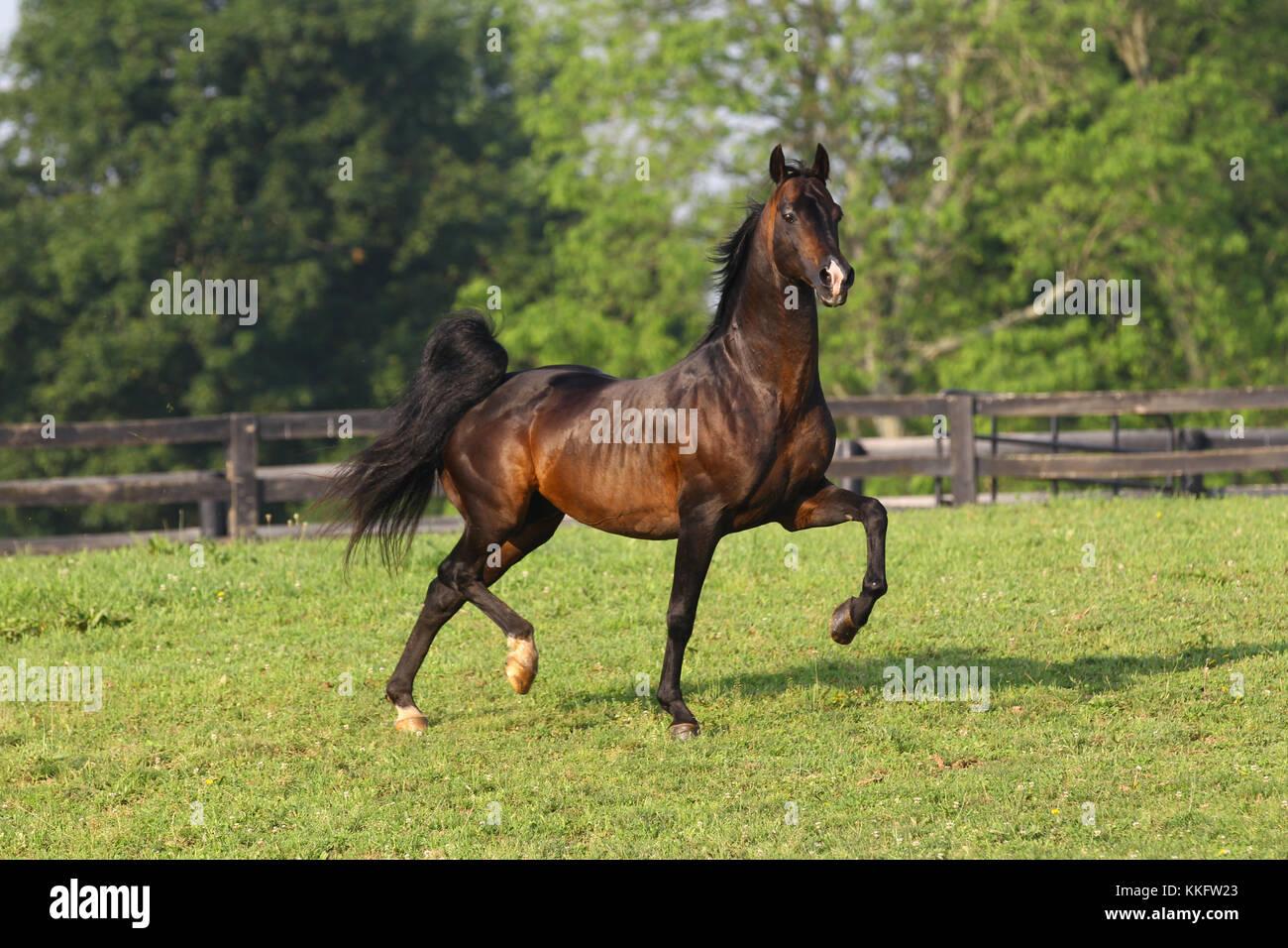 Morgan horse Stockbild