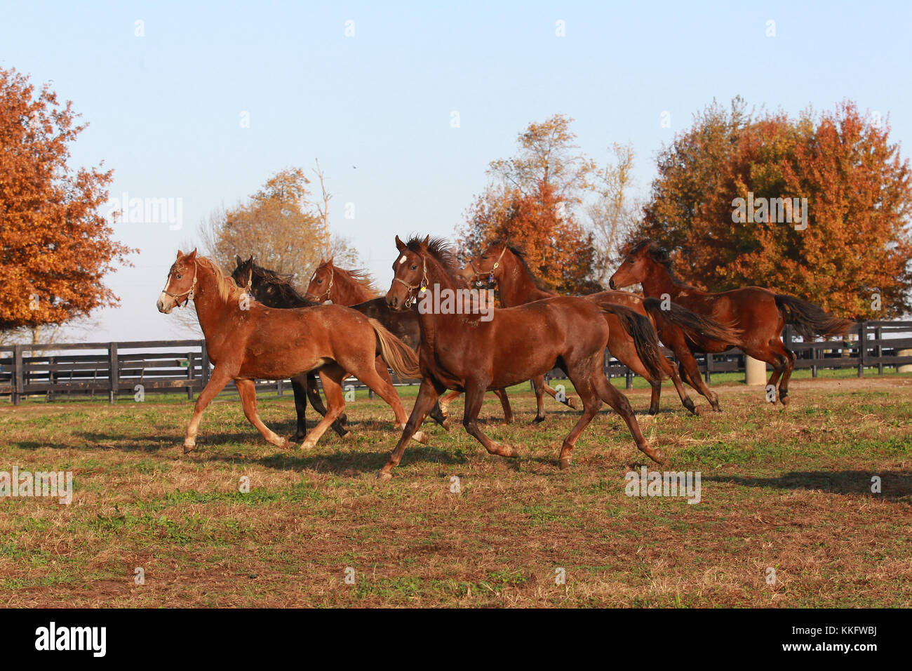 Morgan horse Stockfoto