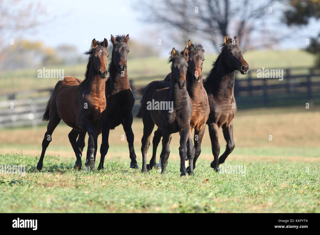 Morgan horse Stockbild