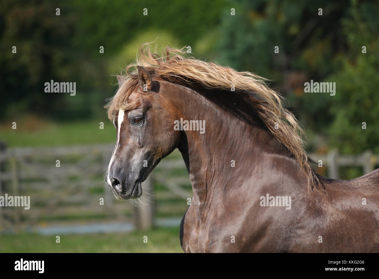 Welsh Pony Stockbild