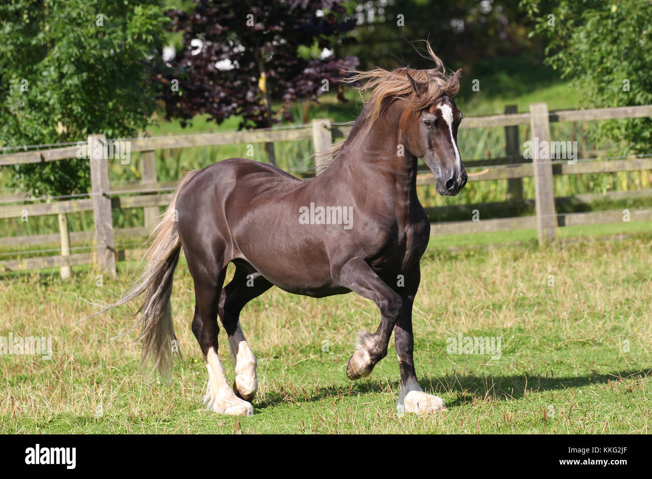 Welsh Pony Stockbild