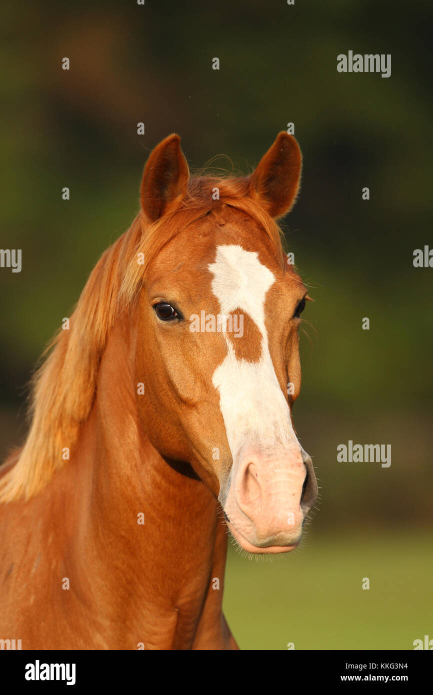 Chestnut Oldenburg X Welsh Headshot Stockbild
