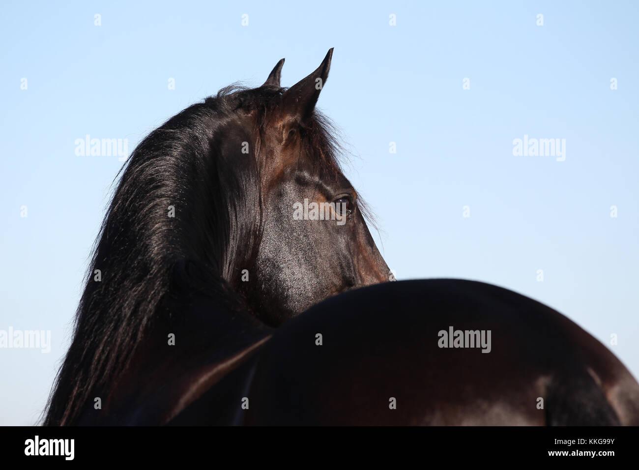 Lusitano Headshot Stockfoto
