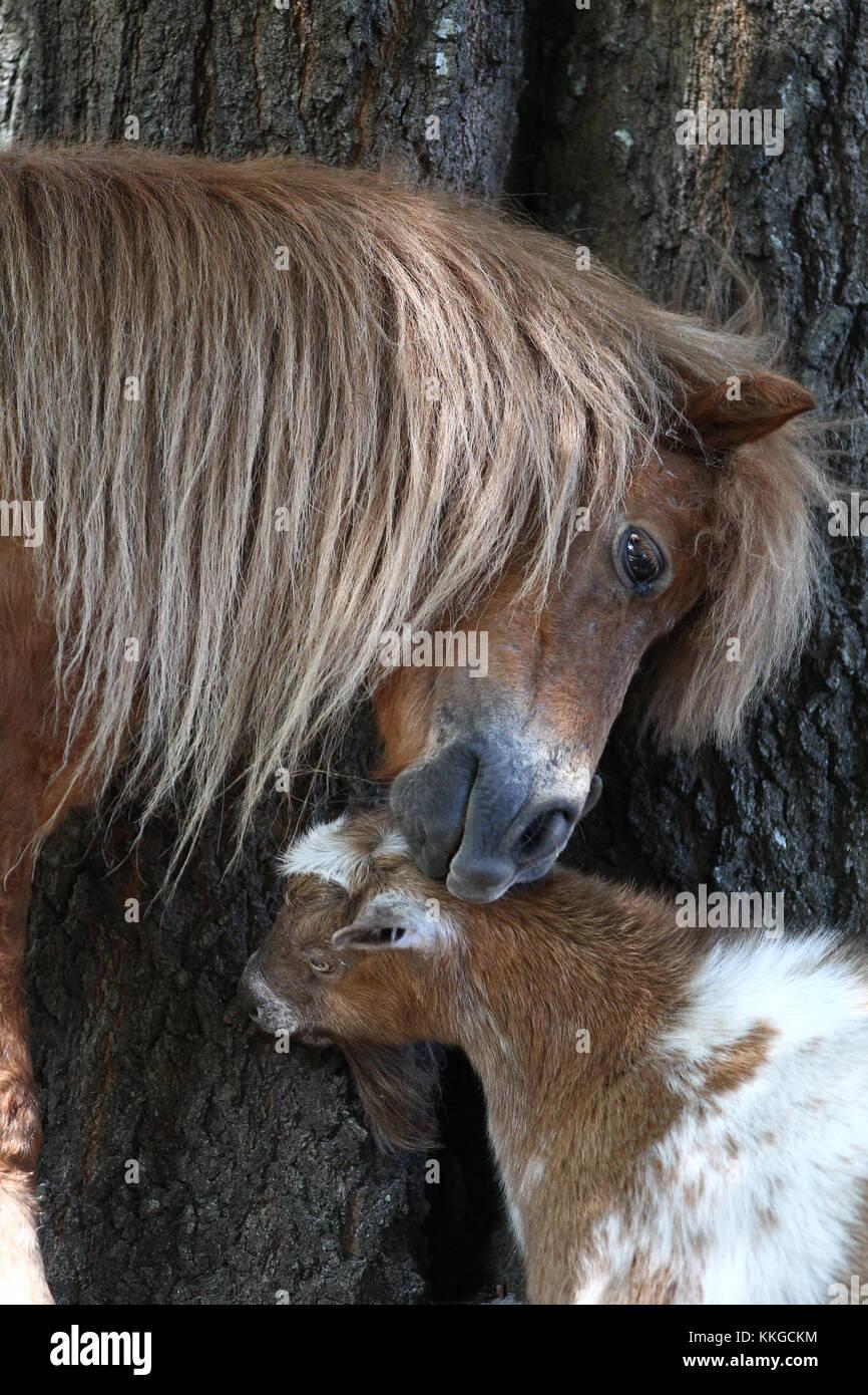 Miniatur- und Pigmy Goat Stockbild