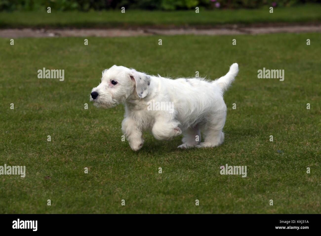 - Sealyham Terrier Sealyham Terrier Welpen Stockbild
