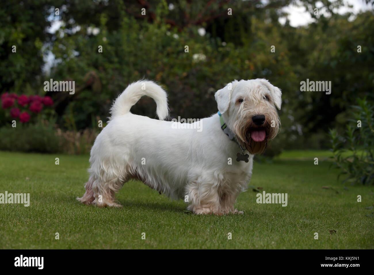 - Sealyham Terrier Sealyham Terrier stehend auf der Suche Kamera Stockbild