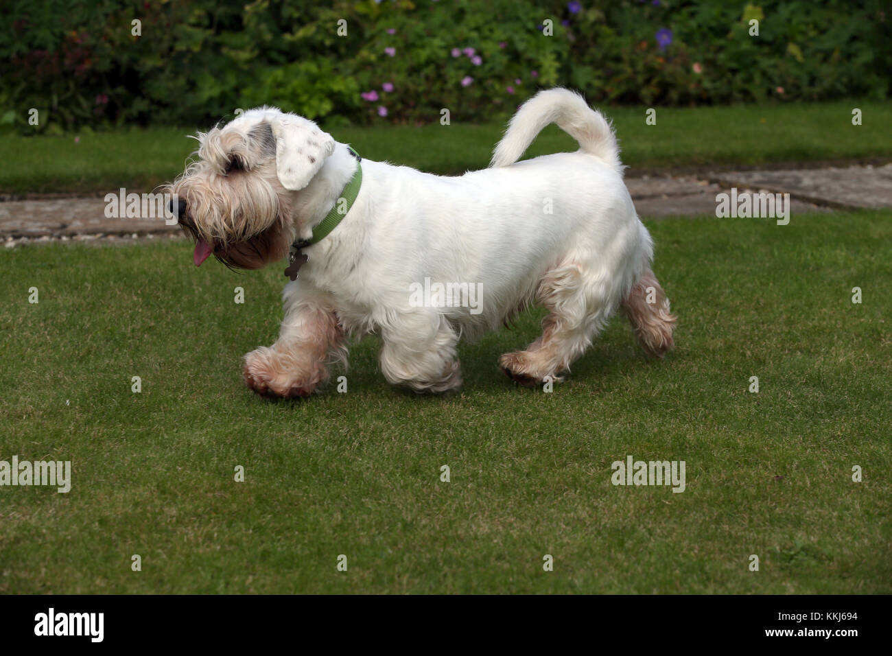 - Sealyham Terrier Sealyham Terrier Trab Stockbild