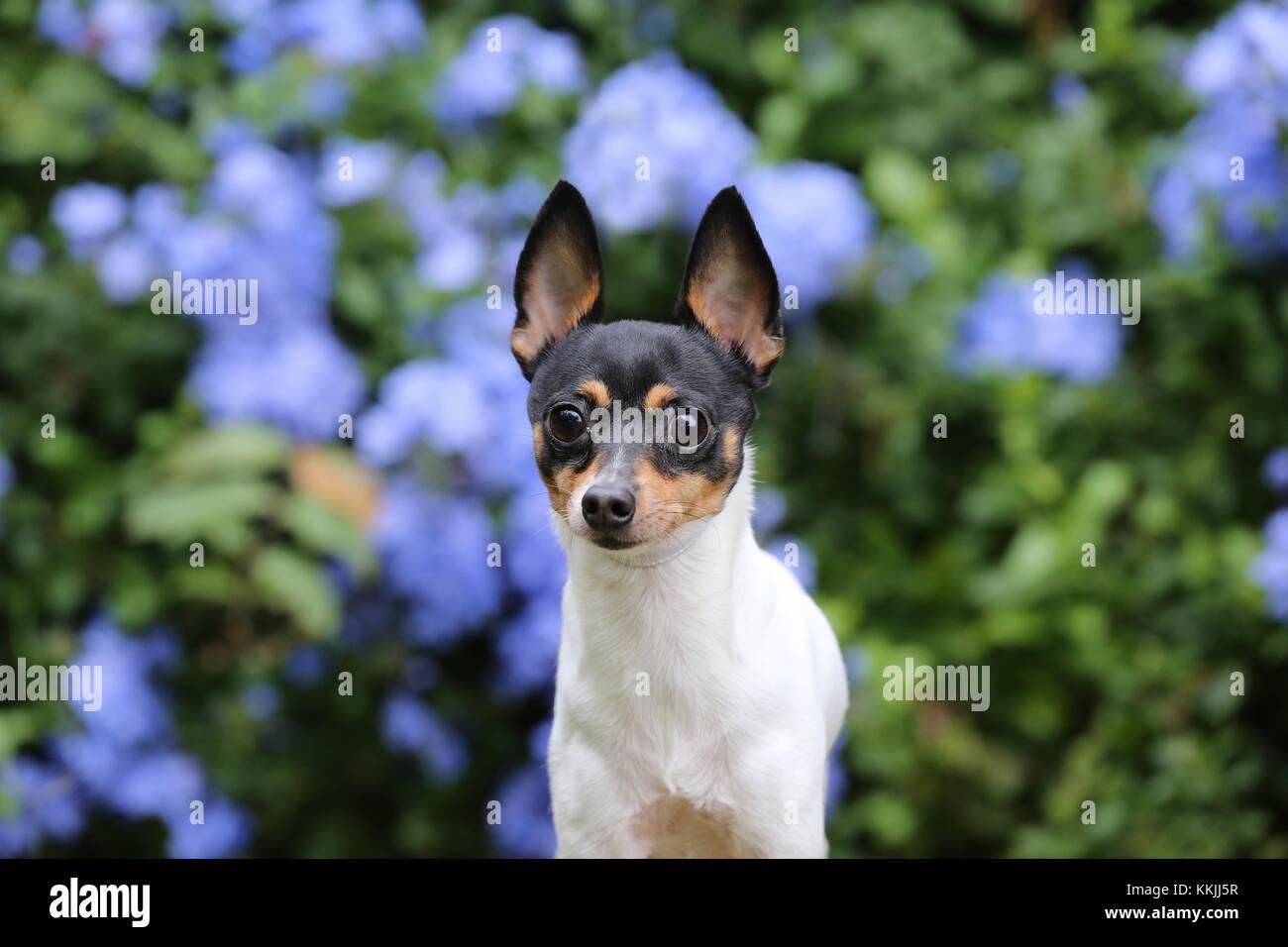 Toy Fox Terrier - toy Fox Terrier american Toy Terrier Stockbild