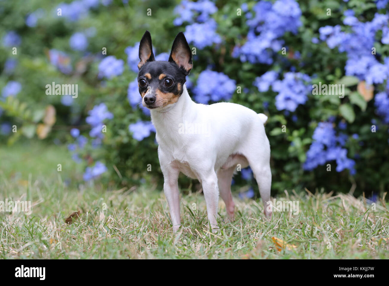 Toy Fox Terrier - toy Fox Terrier american Toy Terrier Stockbild