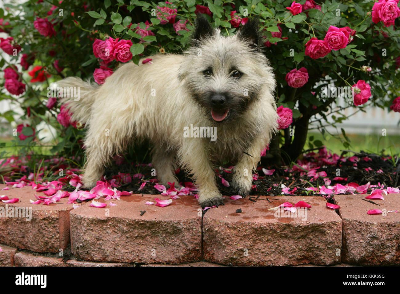 - Cairn Terrier Cairn Terrier kurzhaarige Skye Stockbild