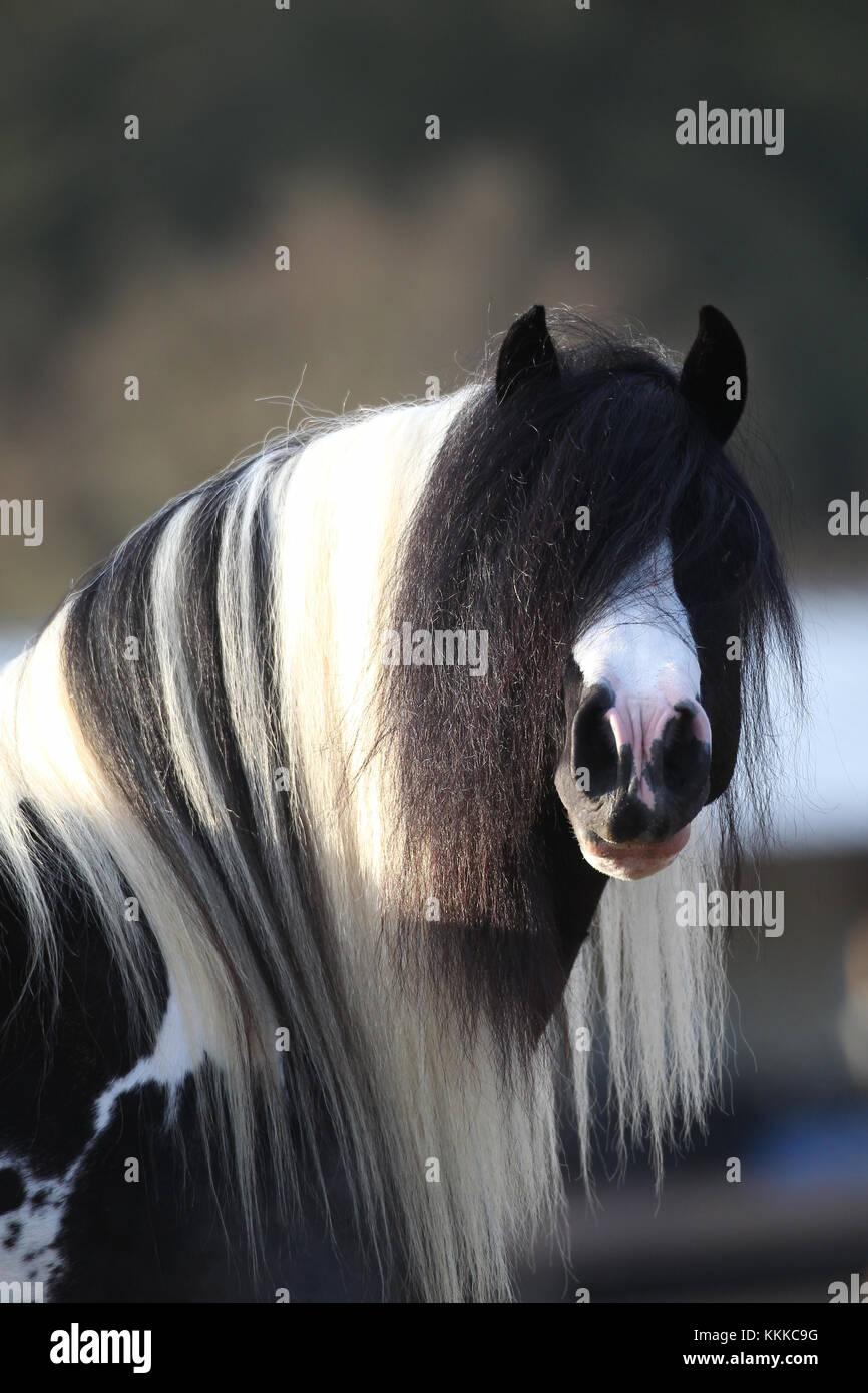 Gypsy Vanner Stockfoto