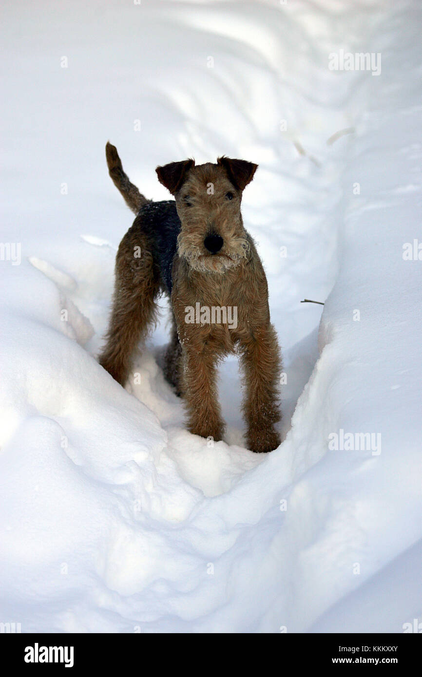 Lakeland terrier Stockbild