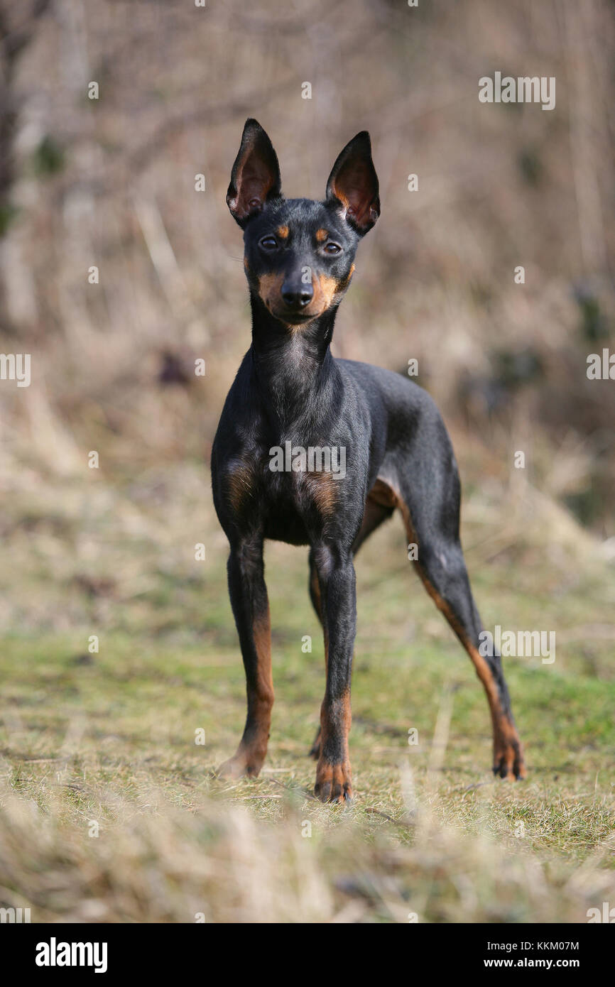 - English Toy Terrier English Toy Terrier, black-and-tan Toy Terrier Stockbild