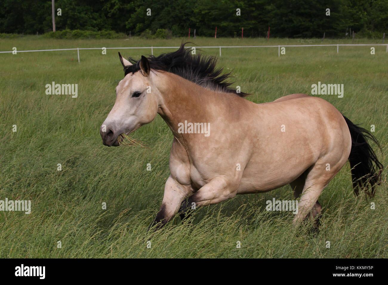 Quarter horse Stockbild
