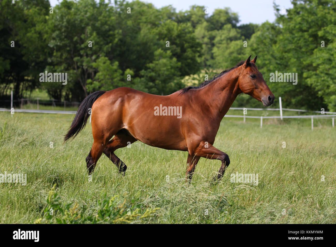 Quarter Horse usa Sun Stockbild