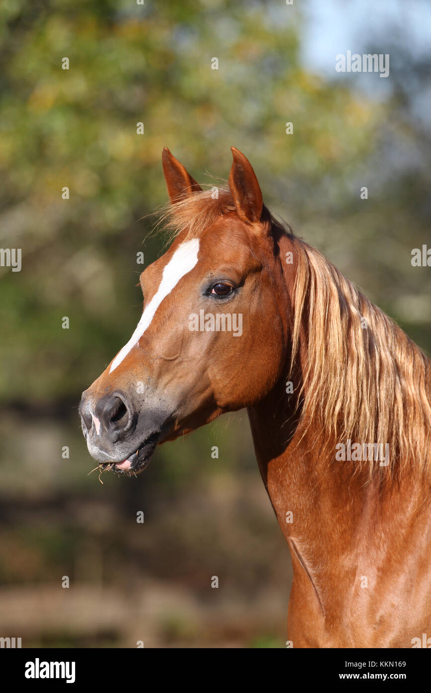 Quarter Horse usa Sun Stockbild