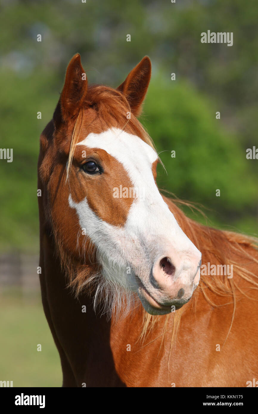 Quarter horse Stockbild
