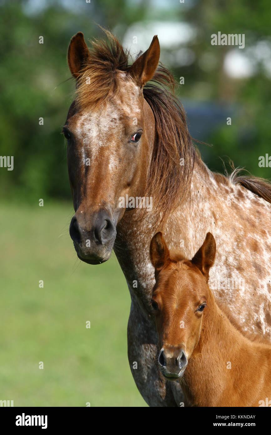 Appaloosa Stute und Fohlen Stockfoto