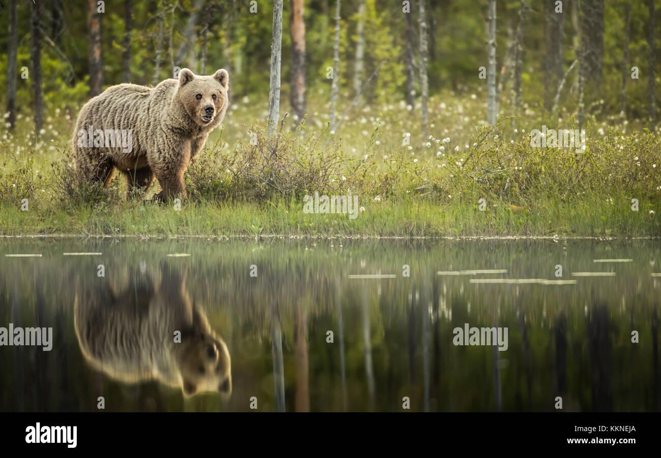 Weibliche Braunbär (Ursus arctos) mit Reflexion über See in Vartius, Finnland Stockfoto