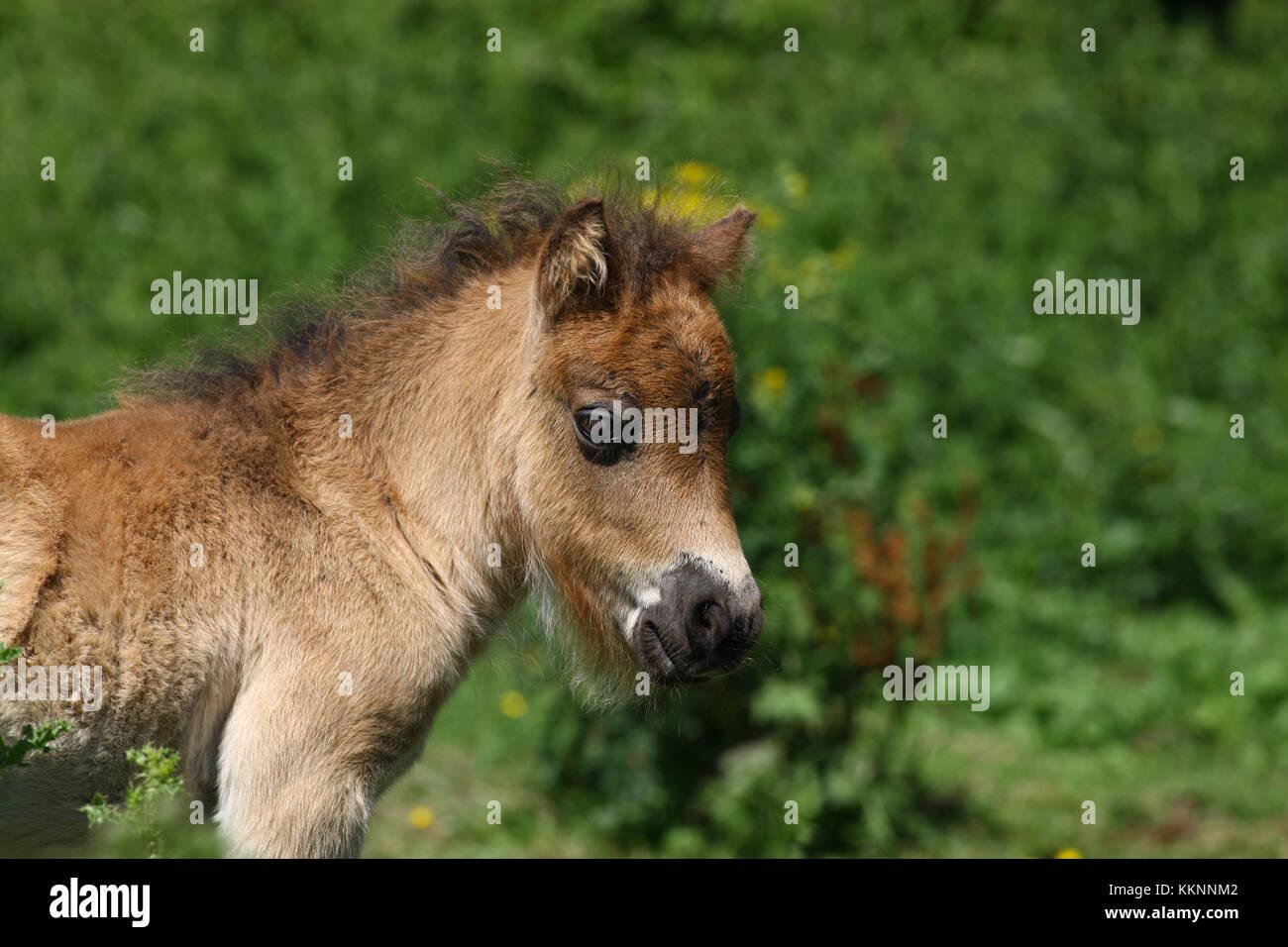 Shetland Fohlen Headshot Stockbild