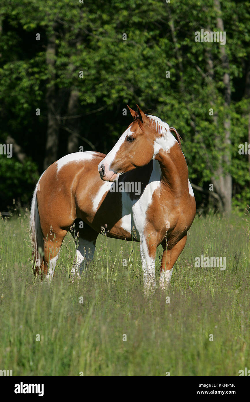 Paint Horse Red Dun Stockbild