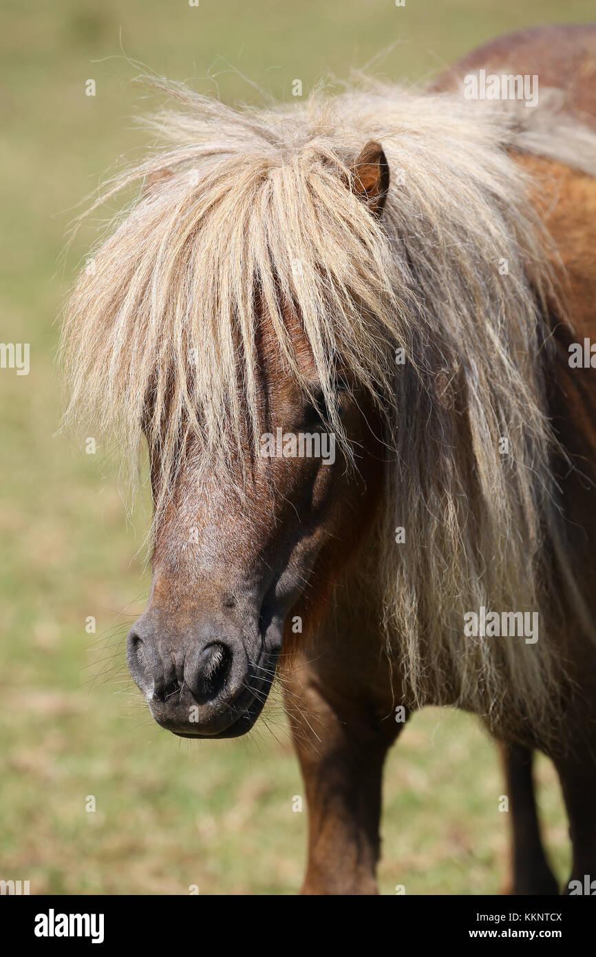 Shetland Pony Headshot Stockbild
