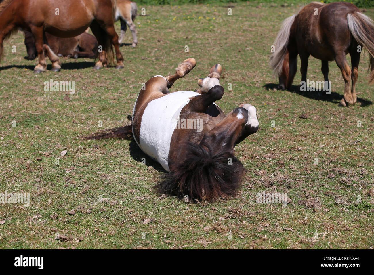 Shetland Pony Rolling Stockbild