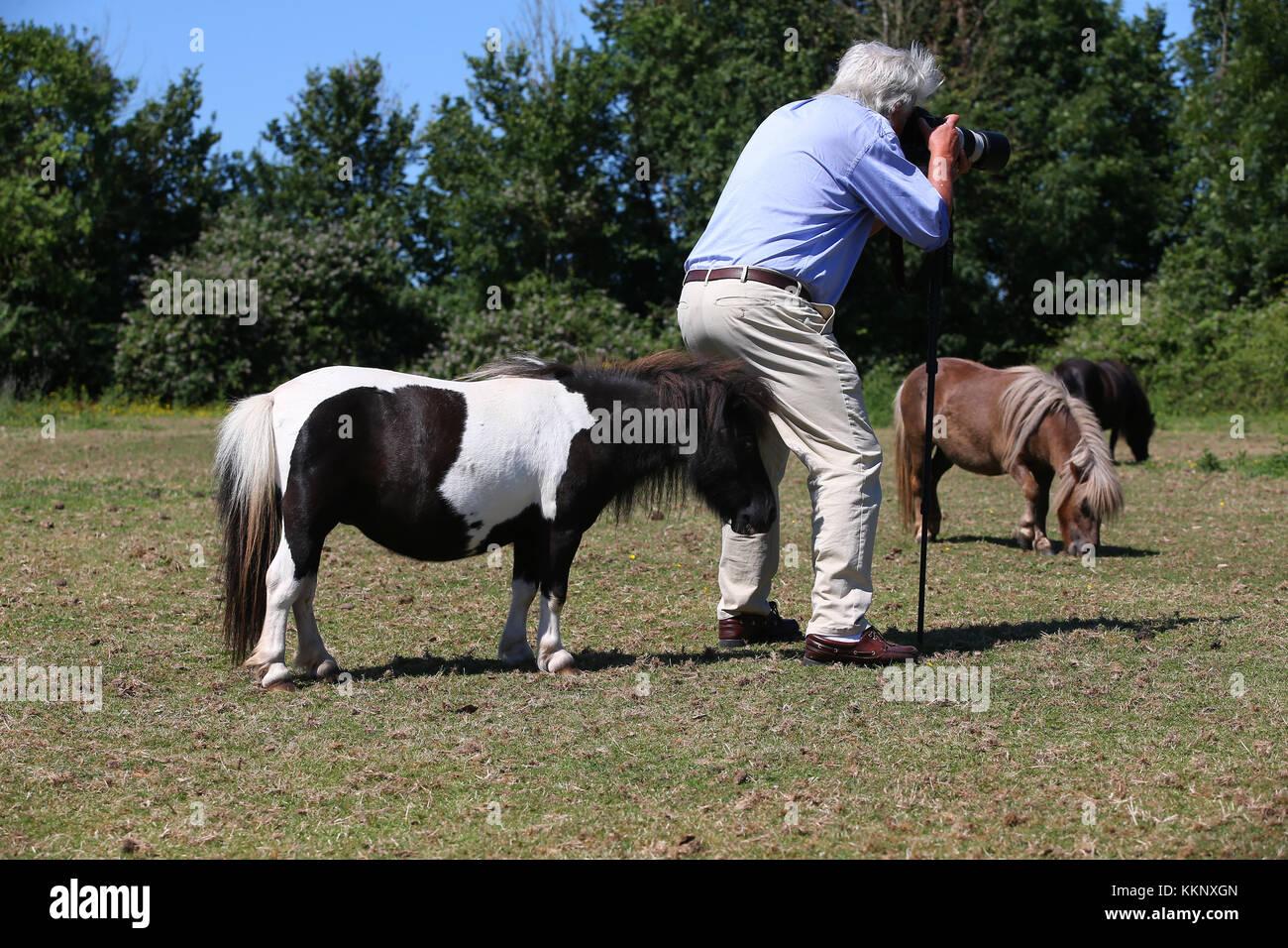 Shetland Ponys und Bob Stockbild