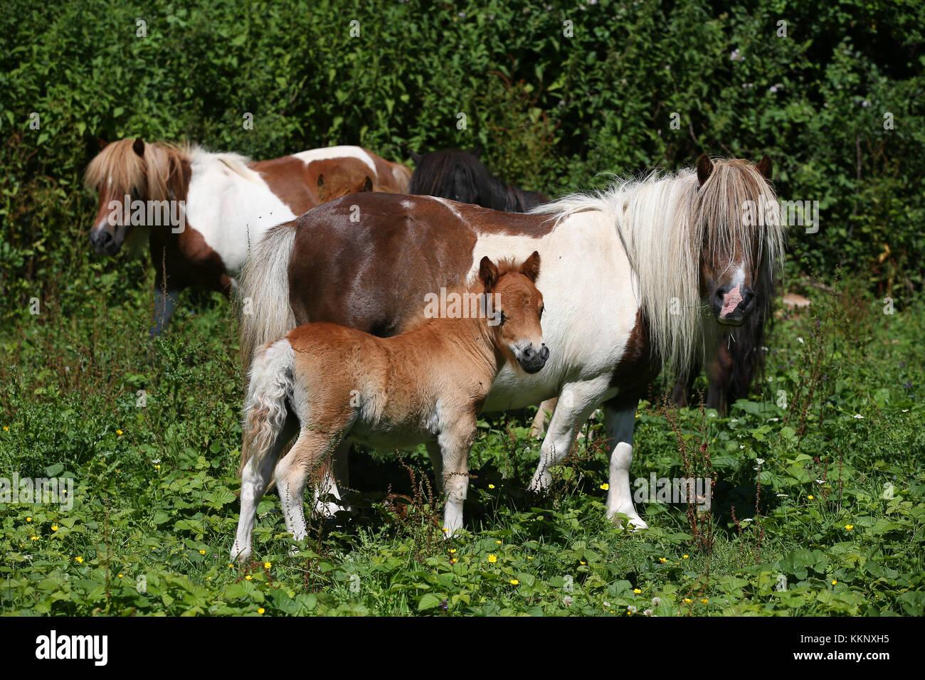 Shetland Stute und Fohlen Stockbild