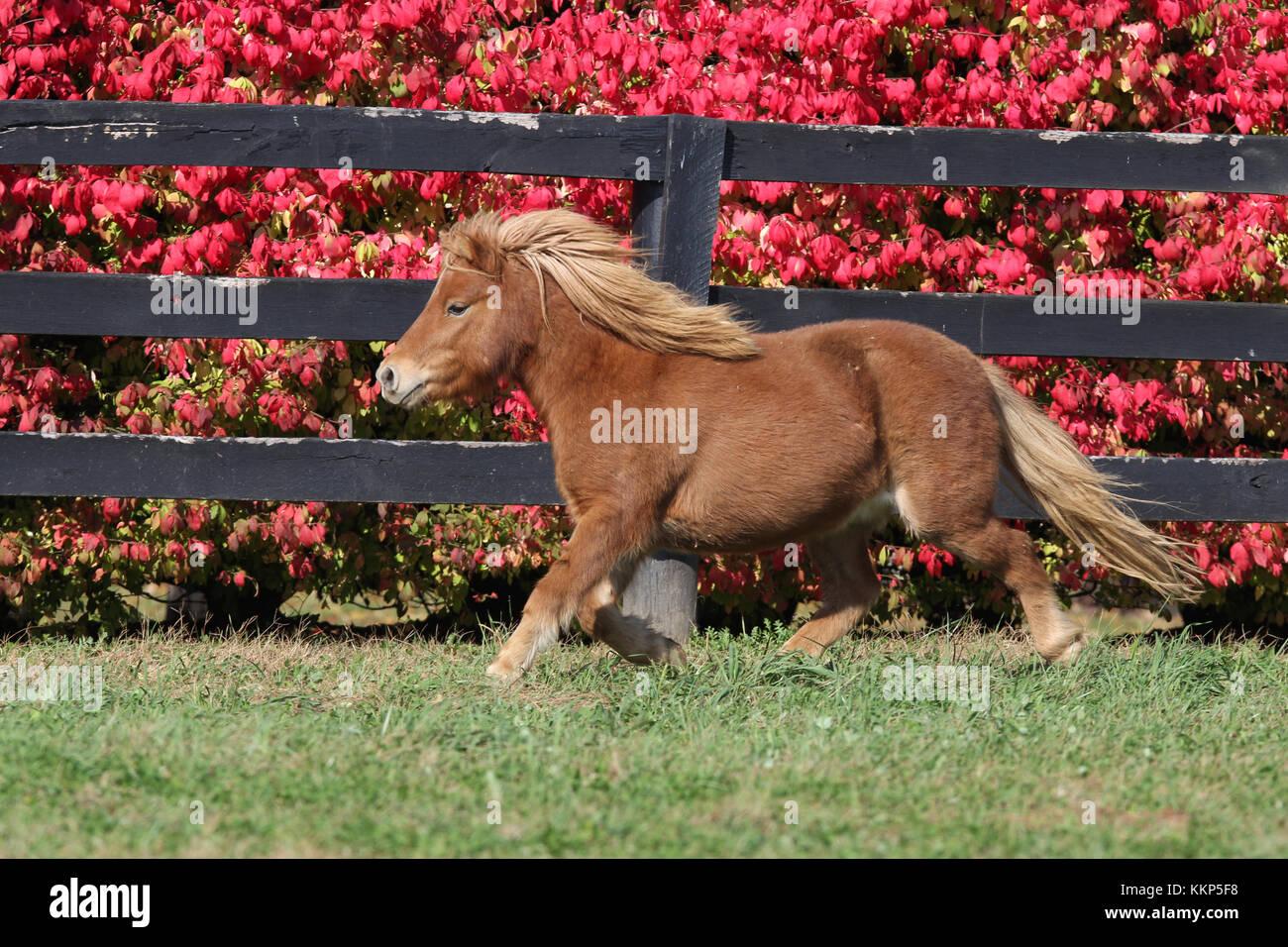Miniatur Pony Stockbild