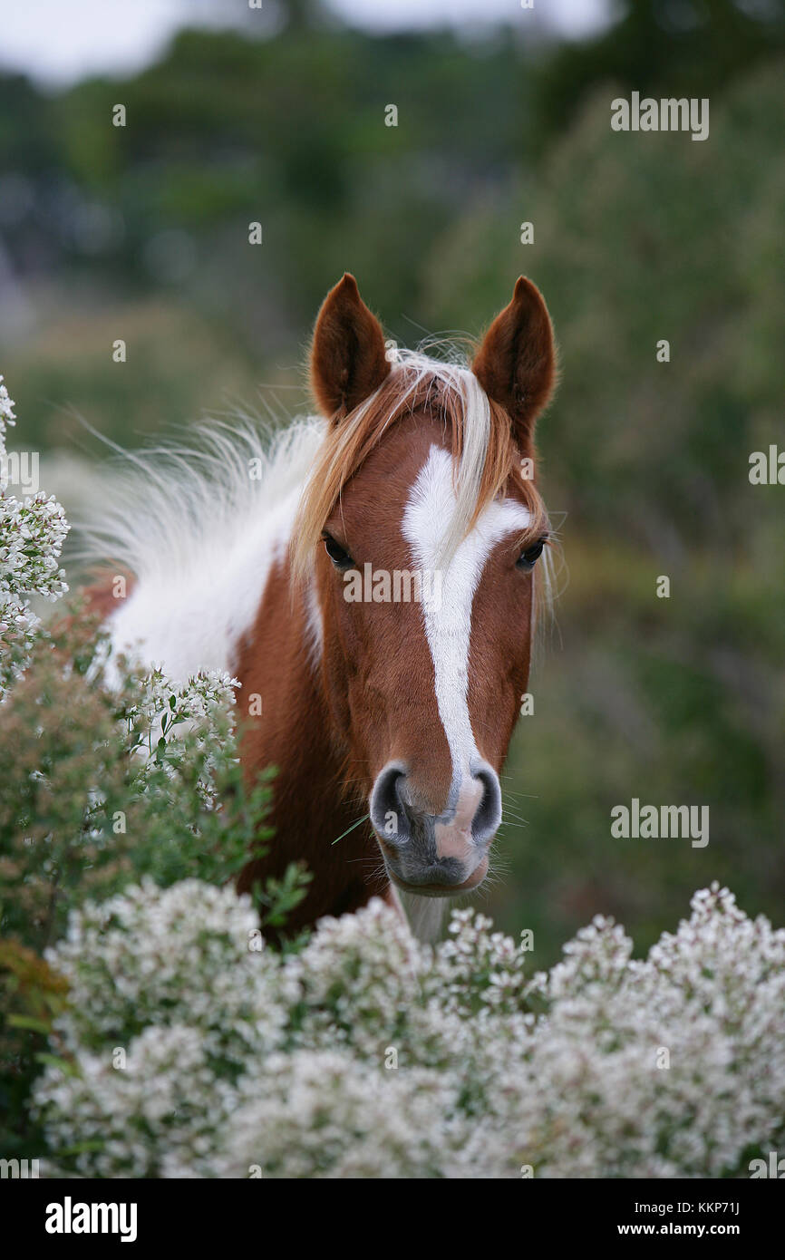 Chincoteague pony Headshot Stockbild