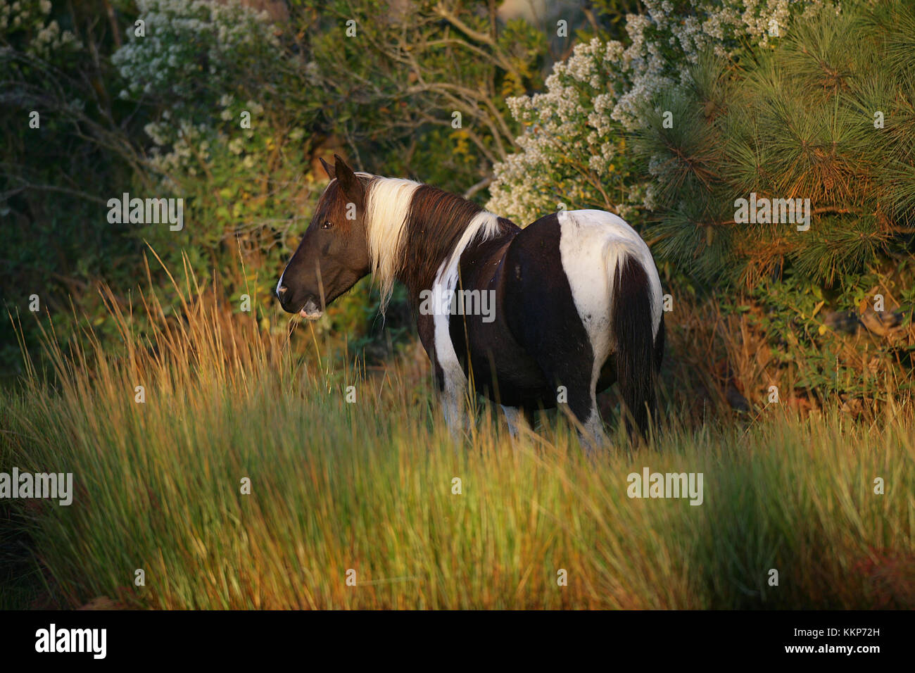 Chincoteague Pony Stockbild